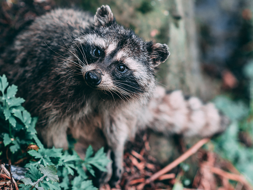 wilderness volunteer in canada raccoon